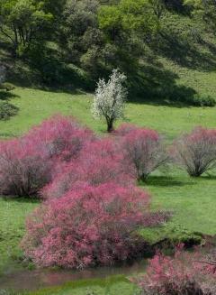 Spring Redbud