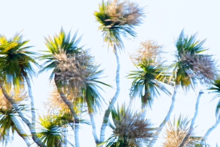 Blooming-Yucca-on-a-WIndy-Day