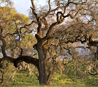 Crane-Creek-Afternoon-Light-on-Oak