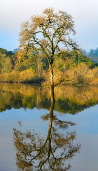 Laguna-Golden-Tree