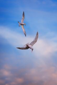 Terns-at-Bodega-Bay