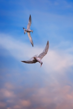 Terns-at-Bodega-Bay