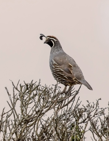 Bodega-Afternoon-Perched-Quail-2