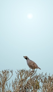 Bodega-Afternoon-Perched-Quail